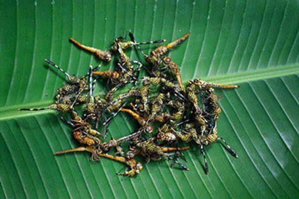 Ở Bali (Indonesia), người ta bắt chuồn chuồn, bỏ cánh rồi chiên hay nấu với sữa dừa và gừng, tỏi.