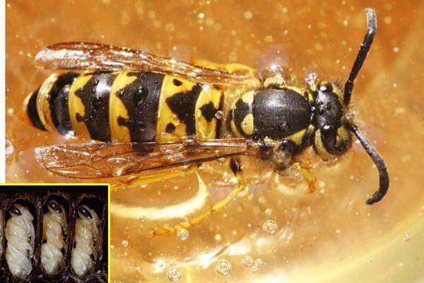 Ong vò vẽ và ấu trùng của nó được rang hoặc luộc để làm món ăn ở một số nước Đông Á. Ở Việt Nam, cháo nhộng ong vò vẽ được khen bổ dưỡng và là đặc sản ở miền Tây.